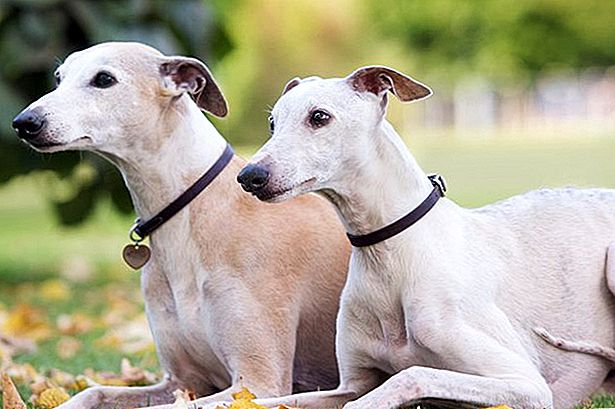 Mengenai Double-Muscling in Dogs