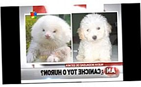 Man Buys Toy Poodle Tetapi Gets Ferrets pada Steroid