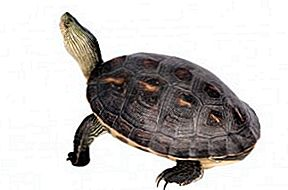 Kinesisk Stripe Necked Turtle