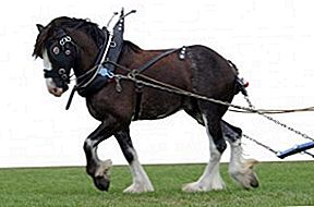Kuda Clydesdale