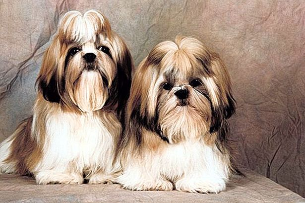 Shih Tzu Mating Facts