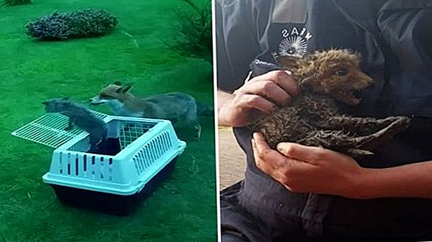 Video imperdibile di Fox Cub Rescued & Reunited With Mom