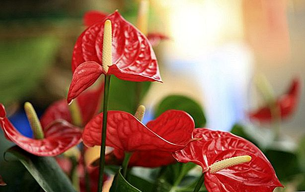 Er Anthurium trygt for katter?
