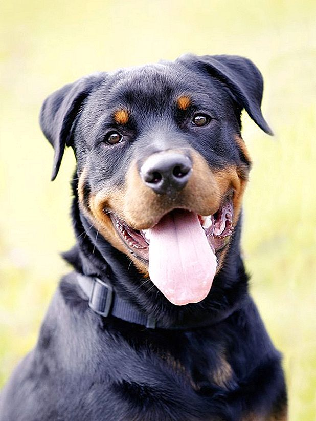 Hudproblemer hos Rottweilers