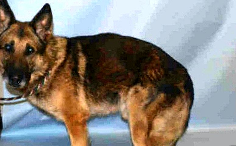 UPDATE: K9 Hero Saved From Kill Shelter Dapat Retirement He Deserves