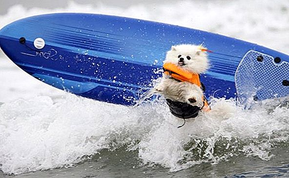 Totally Rad Pups Catch Epic Waves wygrać konkurs na surfing psów