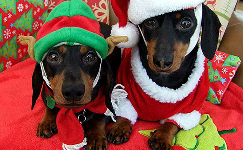15 Times Crusoe The Dachshund Made The Holidays Even More Joyous